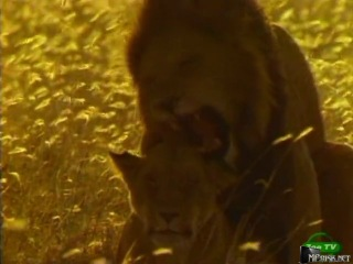 BBC: Мир природы. Львы